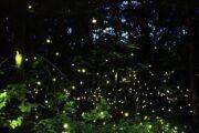 Dang fireflies
