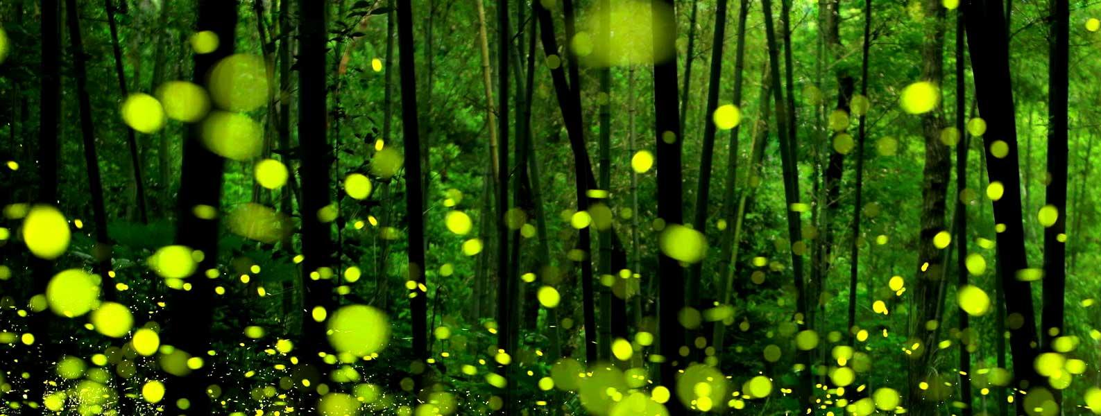 Fireflies Festival at Dang