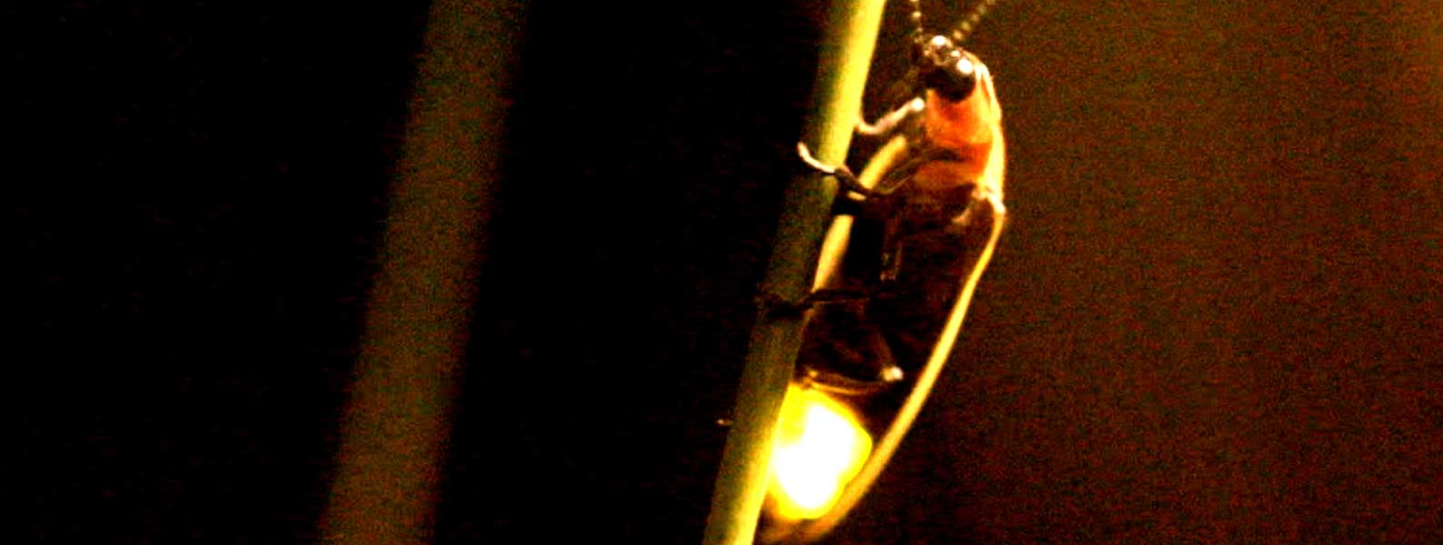 Dang Fireflies festival